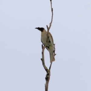 Philemon corniculatus (Noisy Friarbird) at Wodonga, VIC by KylieWaldon
