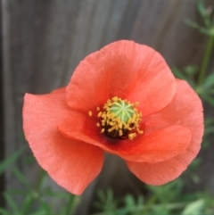 Papaver dubium (Longhead Poppy) at O'Connor, ACT - 10 Oct 2021 by Ned_Johnston