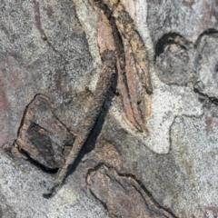 Conoeca guildingi (A case moth) at Higgins, ACT - 4 Oct 2021 by AlisonMilton