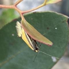 Philobota undescribed species near arabella (A concealer moth) at Jerrabomberra, NSW - 9 Oct 2021 by Steve_Bok