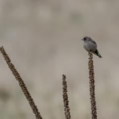 Artamus cyanopterus (Dusky Woodswallow) at Rendezvous Creek, ACT - 2 Oct 2021 by trevsci
