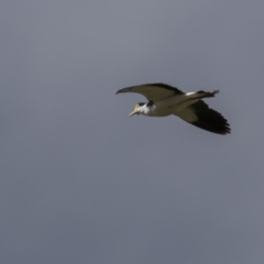 Vanellus miles (Masked Lapwing) at Rendezvous Creek, ACT - 2 Oct 2021 by trevsci