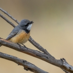 Pachycephala rufiventris (Rufous Whistler) at Rendezvous Creek, ACT - 2 Oct 2021 by trevsci