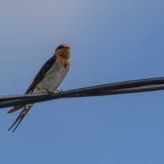 Hirundo neoxena (Welcome Swallow) at Rendezvous Creek, ACT - 2 Oct 2021 by trevsci