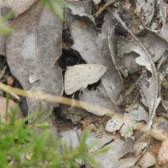 Casbia pallens (Pale Casbia) at Carwoola, NSW - 10 Oct 2021 by Liam.m