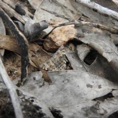 Dichromodes disputata (Scaled Heath Moth) at Carwoola, NSW - 10 Oct 2021 by Liam.m