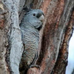 Callocephalon fimbriatum (Gang-gang Cockatoo) at Point One - 9 Oct 2021 by LisaH