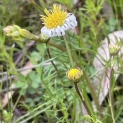 Calotis anthemoides (Chamomile burr-daisy) at Mount Majura - 10 Oct 2021 by JaneR