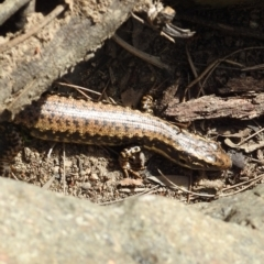 Eulamprus heatwolei (Yellow-bellied Water Skink) at Stromlo, ACT - 9 Oct 2021 by HelenCross