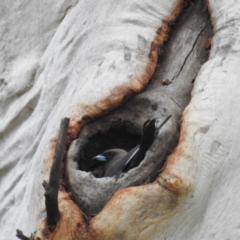 Artamus cyanopterus (Dusky Woodswallow) at Stromlo, ACT - 9 Oct 2021 by HelenCross