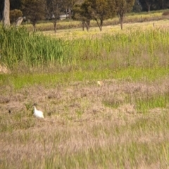 Nycticorax caledonicus (Nankeen Night-Heron) at Leeton, NSW - 9 Oct 2021 by Darcy