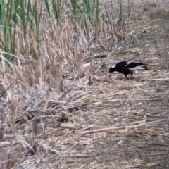 Gymnorhina tibicen (Australian Magpie) at Leeton, NSW - 9 Oct 2021 by Darcy