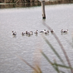 Recurvirostra novaehollandiae (Red-necked Avocet) at Leeton, NSW - 9 Oct 2021 by Darcy