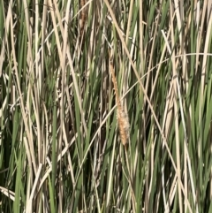 Typha domingensis (Bullrush) at Mitchell, ACT - 10 Oct 2021 by JaneR