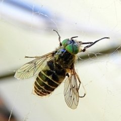Dasybasis sp. (genus) (A march fly) at Crooked Corner, NSW - 9 Oct 2021 by Milly