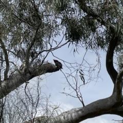 Callocephalon fimbriatum (Gang-gang Cockatoo) at Mount Majura - 11 Oct 2021 by KathyandJohn