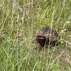 Tachyglossus aculeatus (Short-beaked Echidna) at Chapman, ACT - 11 Oct 2021 by DonLimn