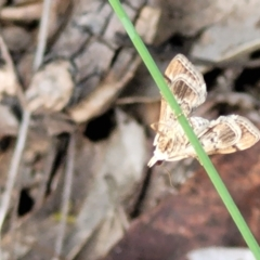 Nacoleia rhoeoalis (TBC) at Cook, ACT - 11 Oct 2021 by tpreston