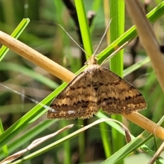 Scopula rubraria (TBC) at Cook, ACT - 11 Oct 2021 by tpreston