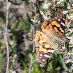 Vanessa kershawi (Australian Painted Lady) at Cook, ACT - 11 Oct 2021 by tpreston