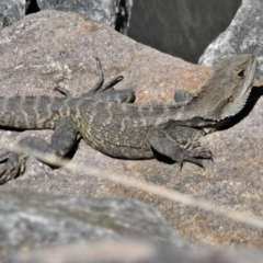 Intellagama lesueurii howittii (Gippsland Water Dragon) at Uriarra Village, ACT - 11 Oct 2021 by JohnBundock