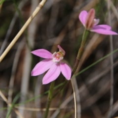 Caladenia carnea (Pink fingers) at Mount Majura - 10 Oct 2021 by petersan