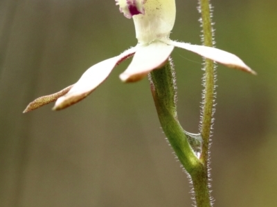 Caladenia moschata (Musky caps) at Woodlands, NSW - 10 Oct 2021 by Snowflake