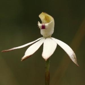 Caladenia moschata at suppressed - 11 Oct 2021