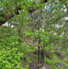 Sorbus domestica (Service Tree) at Jerrabomberra, ACT - 11 Oct 2021 by Mike