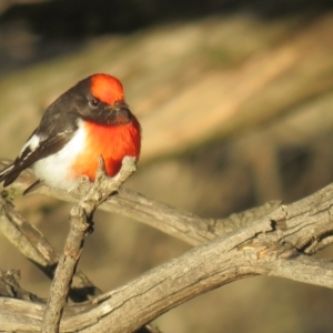 Petroica goodenovii (Red-capped Robin) at suppressed by Liam.m