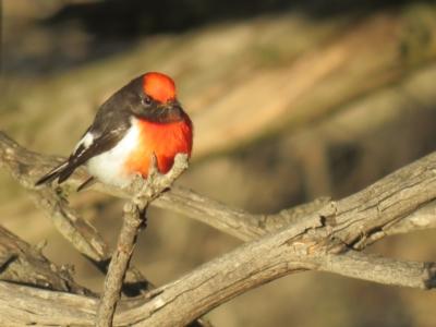 Petroica goodenovii (Red-capped Robin) at Kamarooka, VIC - 26 May 2019 by Liam.m