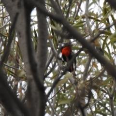 Dicaeum hirundinaceum (Mistletoebird) at Lake Wyangan, NSW - 5 Oct 2019 by Liam.m