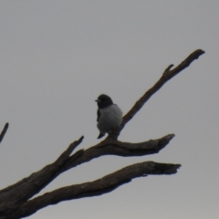 Artamus leucorynchus (White-breasted Woodswallow) at Lake Wyangan, NSW - 5 Oct 2019 by Liam.m