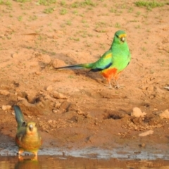 Psephotus varius (Mulga Parrot) at Binya, NSW - 5 Oct 2019 by Liam.m