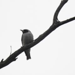 Artamus personatus (Masked Woodswallow) at Binya, NSW - 5 Oct 2019 by Liam.m