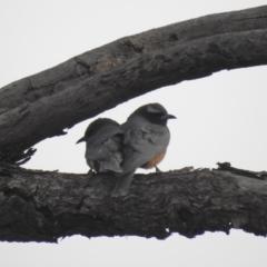 Artamus superciliosus (White-browed Woodswallow) at Binya, NSW - 5 Oct 2019 by Liam.m