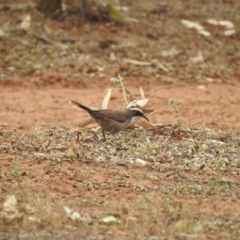 Pomatostomus superciliosus (White-browed Babbler) at Binya, NSW - 5 Oct 2019 by Liam.m