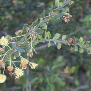 Acacia paradoxa (Kangaroo Thorn) at Glenroy, NSW by PaulF