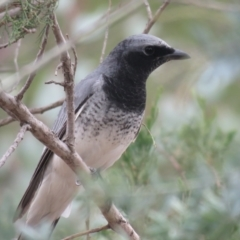 Coracina papuensis (White-bellied Cuckooshrike) at San Isidore, NSW - 27 May 2018 by Liam.m