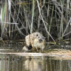 Hydromys chrysogaster (Rakali or Water Rat) at Fyshwick, ACT - 11 Oct 2021 by davidcunninghamwildlife