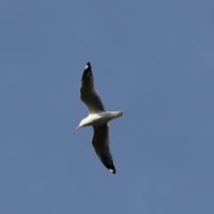 Chroicocephalus novaehollandiae (Silver Gull) at Cook, ACT - 8 Oct 2021 by Tammy
