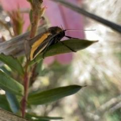 Philobota chrysopotama (A concealer moth) at Murrumbateman, NSW - 11 Oct 2021 by SimoneC
