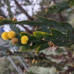 Unidentified Wattle (TBC) at Leeton, NSW - 9 Oct 2021 by Darcy