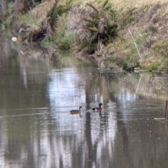 Anas castanea (Chestnut Teal) at Leeton, NSW - 9 Oct 2021 by Darcy