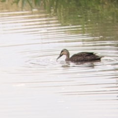Anas superciliosa (Pacific Black Duck) at Leeton, NSW - 9 Oct 2021 by Darcy
