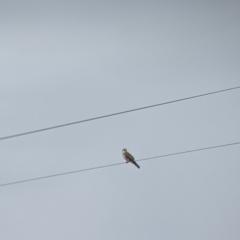 Falco cenchroides (Nankeen Kestrel) at Leeton, NSW - 9 Oct 2021 by Darcy