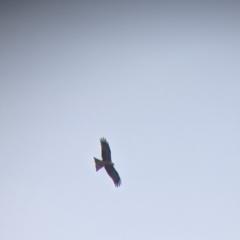Milvus migrans (Black Kite) at Leeton, NSW - 9 Oct 2021 by Darcy