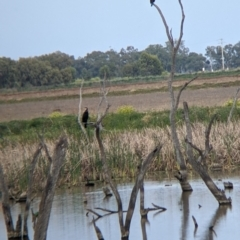 Phalacrocorax carbo (Great Cormorant) at Leeton, NSW - 9 Oct 2021 by Darcy