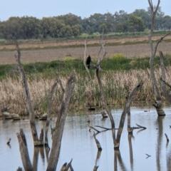 Cygnus atratus (Black Swan) at Leeton, NSW - 9 Oct 2021 by Darcy