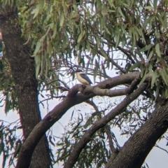 Todiramphus sanctus (Sacred Kingfisher) at Leeton, NSW - 9 Oct 2021 by Darcy